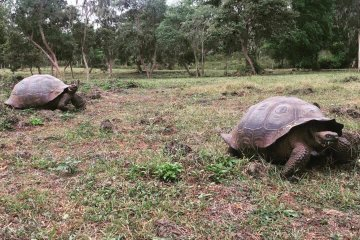 new-galapagos-giant-tortoise-from-fernandina