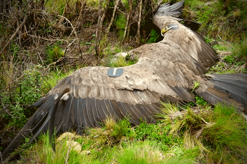 condor-felipe-last-flight
